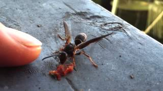 Wasp Eating Sangria Fruit