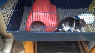 Getting Rid of Mites on Rats