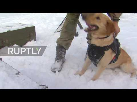 Russia: Russel the Siberian sapper LABRADOR trains to serve in Syria