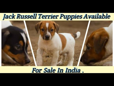 Jack Russell Terrier Puppies Available For Sale / Wholesale Dogs Price List