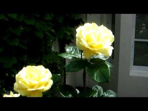 Vincent Square roses