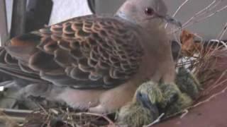 佐賀市高木瀬東のアパートで、ハトが自転車に巣を作り、子育ての真っ最...