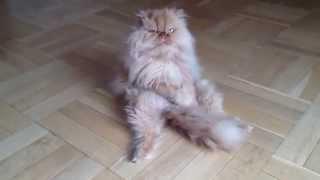 Кот лижет себя
