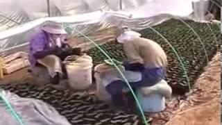 Прививка арбуза на тыкву