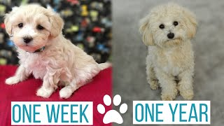 MALTIPOO PUPPY GROWING UP: from 1 week to 1 year | Rosco's Journey from Puppy to Full Grown