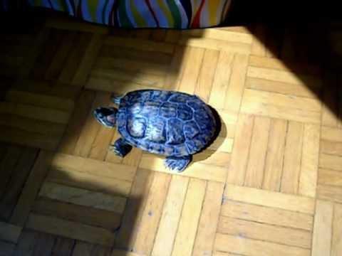 16 years old turtle - Trachemys Scripta Elegans 3