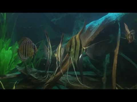 Altum Discus aquarium
