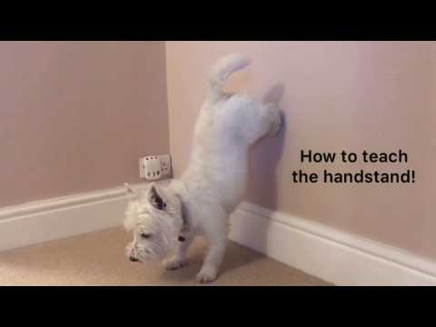 How to teach your dog to do a handstand!
