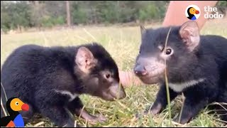 Baby Tasmanian Devil Joeys Play at Devil Ark in Australia | The Dodo LIVE