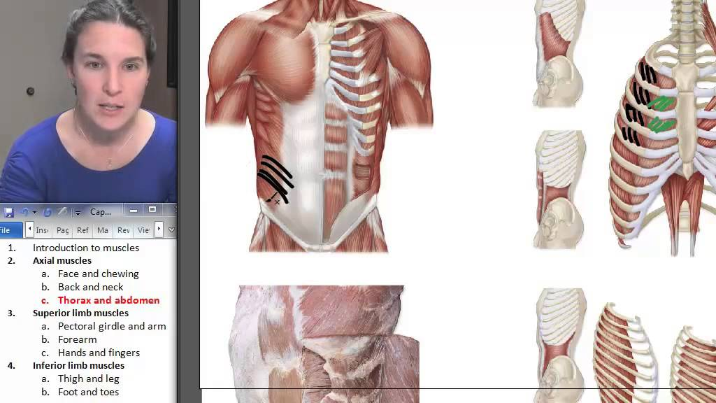 Thorax Abdomen Muscles Human Anatomy Course Youtube