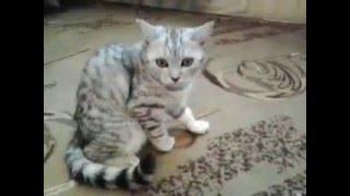 Шотландские котята вискас черный мрамор