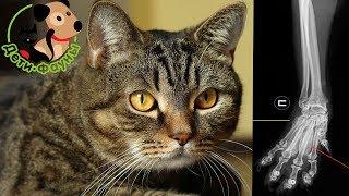 Остеохондродисплазия. Заболевание суставов и костей у кошек