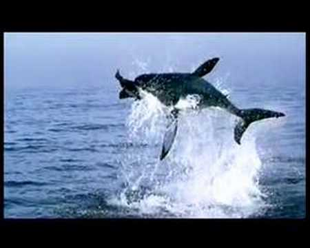 GREAT WHITE SHARK JUMPS 25 FEET OVER THE SEA