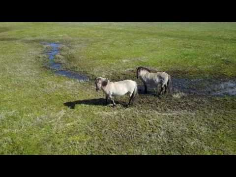 Flying in Holland: Wild Horses
