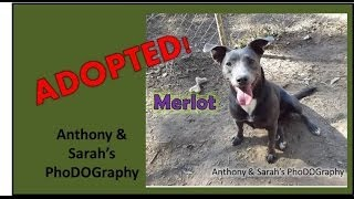 Meet Merlot, A Pit Bull Terrier Mix Adopted From The Humane Society Of Northeast Georgia