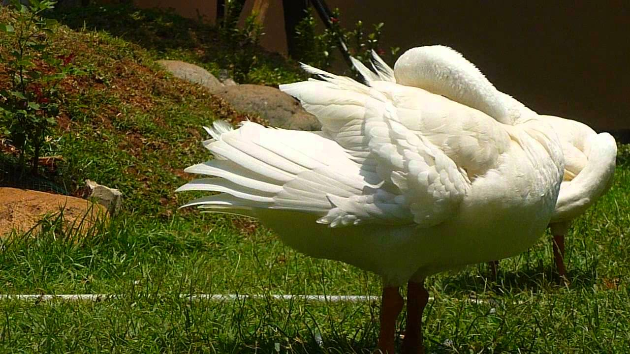 African goose vs chinese goose - photo#10