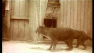 Тасманийский волк 1920гСуперхищник