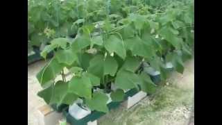 Επαγγελματική Καλλιέργεια με Autopot (Ελληνικοί Υπότιτλοι)