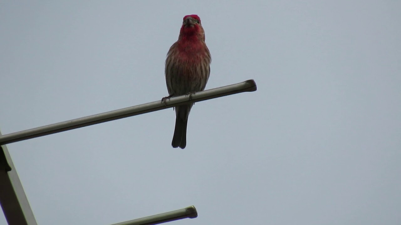 Male House Finch Singing - YouTube