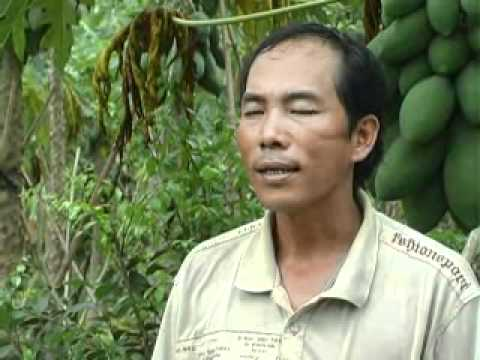 Nhanonglamgiau.com - Hộ anh Tống Văn Toàn làm giàu với mô hình trồng đu đủ
