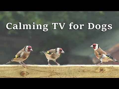 Calming TV for Dogs to Watch Beautiful Garden Birds : Calm Your Dog with Bird Sounds