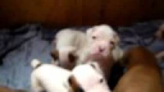 10 Boxer Puppies For Sale