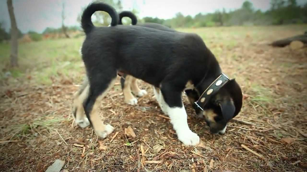 Les chiens truffiers - YouTube