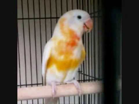 Unduh 10100+ Foto Gambar Burung Lovebird Warna Langka  Terbaik Gratis