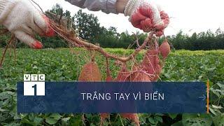 Sóc Trăng: Người nông dân có thể phá sản vì biển | VTC1