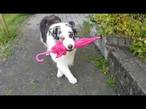 Dog dancing with umbrella