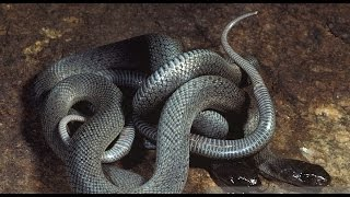 Snake mating ......snake sex video