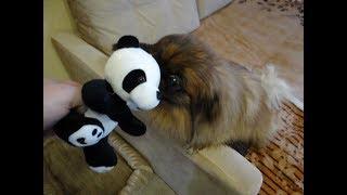 Пекинес Дендик и панда