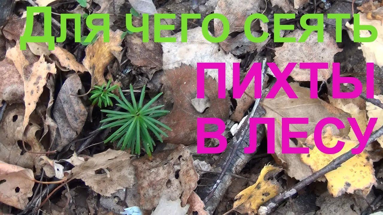 Для чего нужно сеять пихту в лесу