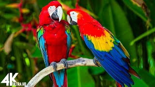 Macaw Parrots 4K - Relaxing Music With Colorful Birds  N The Rainforest