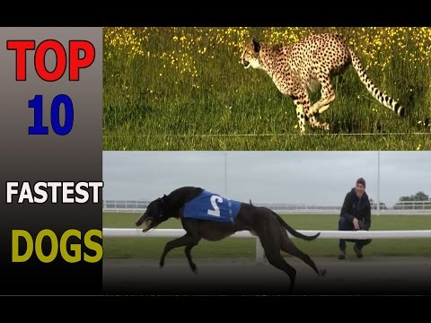 Top 10 fastest dog breeds on Earth | Top 10 animals