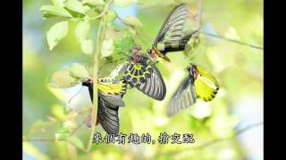 2014-8-22 黃裳鳳蝶是國寶級保育類的黃裳鳳蝶. 黃裳鳳蝶屬大型鳳蝶,展...