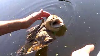 Barn owl rescued from drowning.
