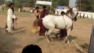 New Horse Dance Competition Tournament 2018 at Mela Kanjwani 456 G.B Faisalabad