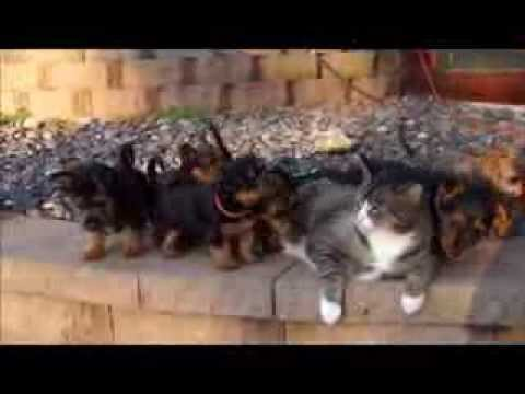 Reggie the patient cat and Dunham Lake Australian Terrier puppies.