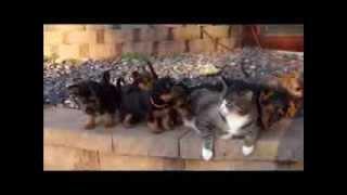 Reggie the patient cat and Dunham Lake Australian Terrier puppies.