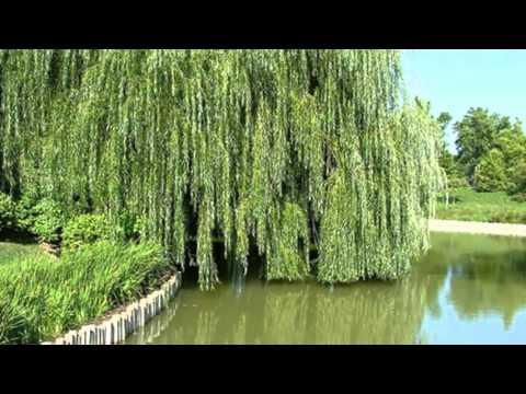 Магия деревьев • Ива Hqdefault