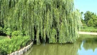 видео Декоративная ива уральской селекции в ландшафтном дизайне