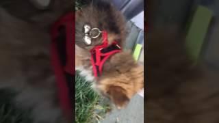 Pomeranian Potty on the porch