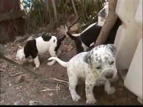 POOPIES ( new puppies / pitt & dalmation mix )