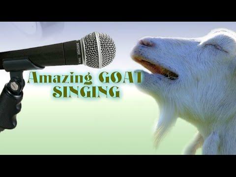 amazing goat singing happy new year