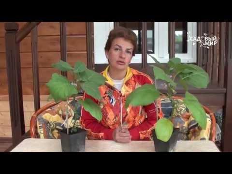 Почему опадают цветы у баклажанов  Искусственное опыление   искусственное   выращивать   баклажанов   баклажаны   опыление   рассады   опадают   цветки   почему   цветы