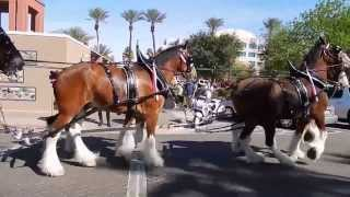 Budweiser Clydesdales in Chandler, Arizona with Ozzie Smith. Commercial Shoot #5. Full 1080p HD.