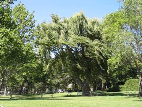 wind blowing weeping willow - YouTube