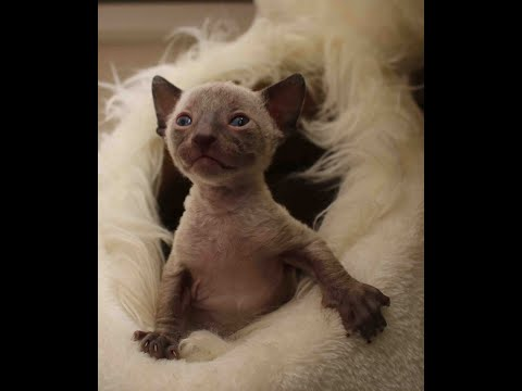 Cornish Rex baby with blue eyes, sooo cute, you have to look, you will love him