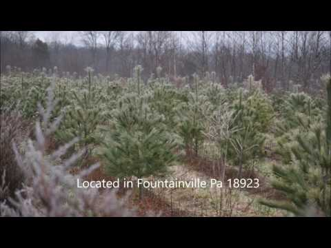 This is the largest conifer      in the northeastern United States